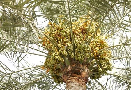 small, big, green, orange and yellow varied dates in a tree Stock Photo - 14476693