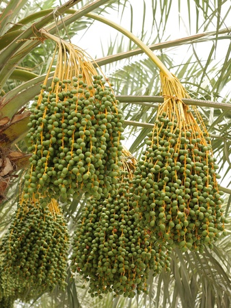 kimri: Green unripe dates bunches in a date palm, focus on middle bunch