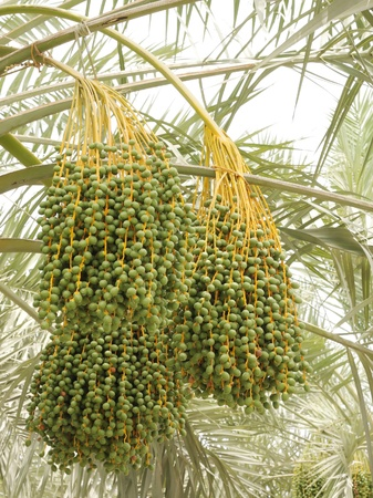 dioecious: Green unripe dates bunches Stock Photo