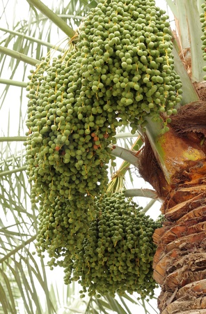 bunches of green unripe dates all around the date palm tree Stock Photo - 14476663