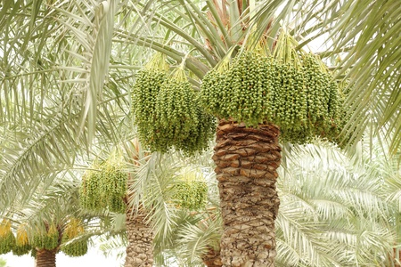 green dates: date palm trees with green dates