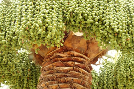 green dates: Close view of green dates in a date palm tree