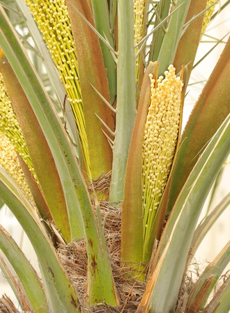 Spathe with flowers in a date palm tree Stock Photo - 14476605