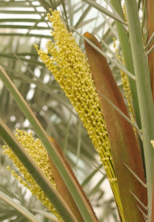 hot date: Dates flowers coming out of the spathe in a date palm