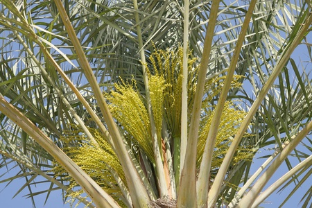 Closure of a date palm tree with green dates flowers and buds photo