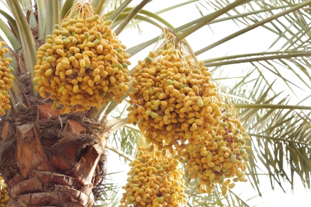 Yellow and green dates in a date palm photo