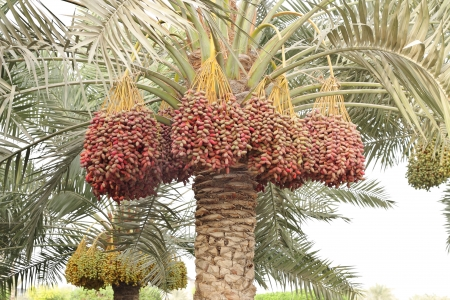 green dates: Colouful dates bunches all along the date palm tree
