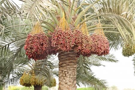 dattes: Colouful grappes dates tout au long du palmier dattier