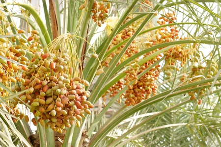 Colourful dates bunches Stock Photo - 14513163