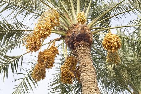 Racimos de d�tiles amarillas en un �rbol de palmera datilera Foto de archivo - 14535628