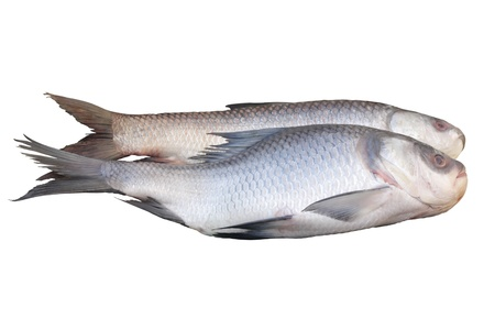 Rohu fish isolated on white Stock Photo - 14513169