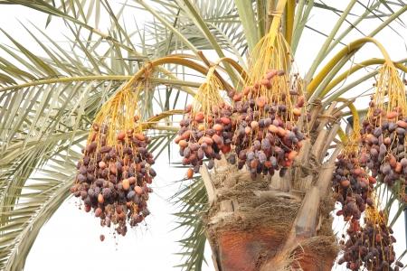 ripen: Orange and dark brown ripen dates