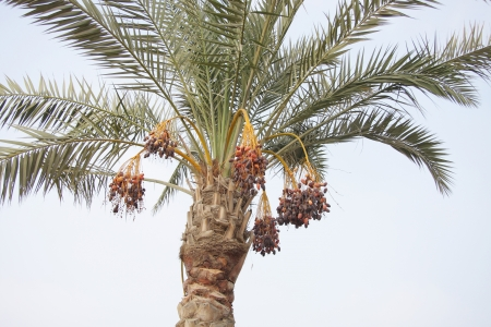 Date tree with bunches of ripen dates photo
