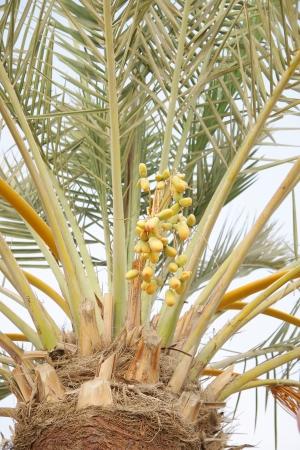 kimri: Green and orange dates, a start of ripening process