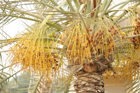 ripen: date tree with plucked ripen dates