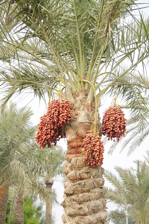 Orange, reddish brown and dark brown ripen dates photo