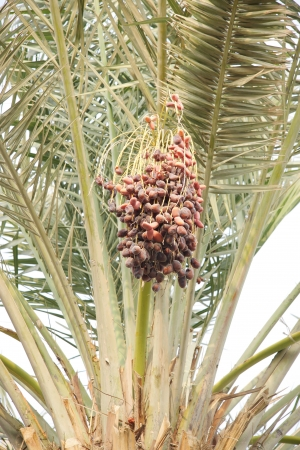 a bunch of rutab and tamr stage ripen dates photo