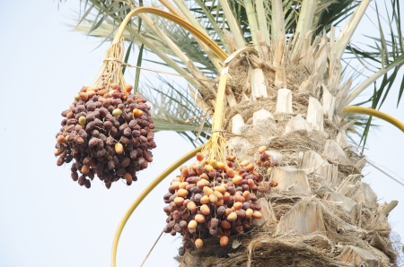 ripen: bunches of khalal, rutab and tamr stage ripen dates Stock Photo