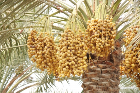 ripen: ripen Yellow and brown rutab dates