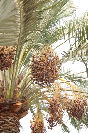 ripen: rutab and tamr ripen dates in bunches