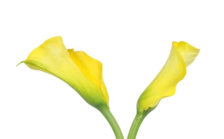 callas: Magnificent yellow Callas lilies isolated on white Stock Photo