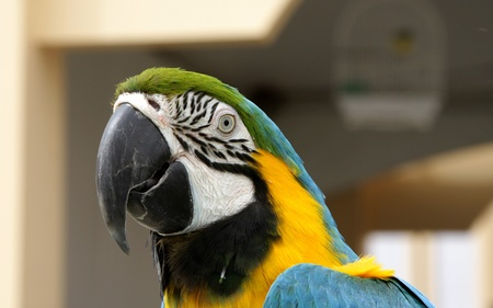 bipedal: Closeup of stunning Yellow and blue Macaw