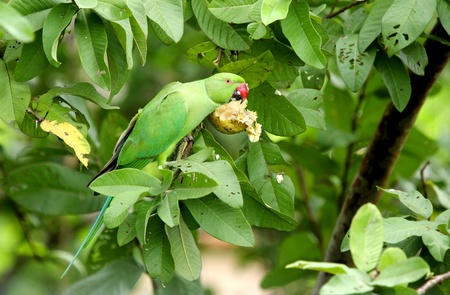 endothermic: A green parrot eating guava