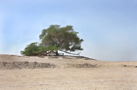 Tree of life in Bahrain, a 400 year-old mesquite tree photo