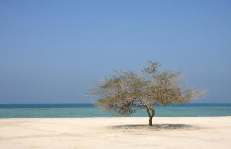 Lonely mesquite tree in Al Jazair sea beach Bahrain