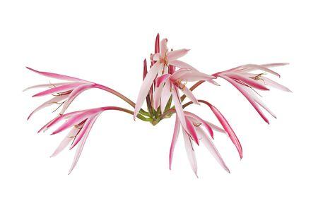 half open: Half open Giant spider lily flowers