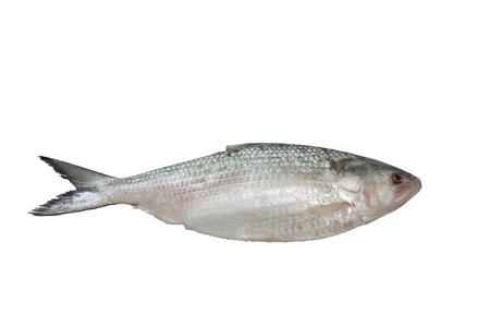Ilish fish isolated on white