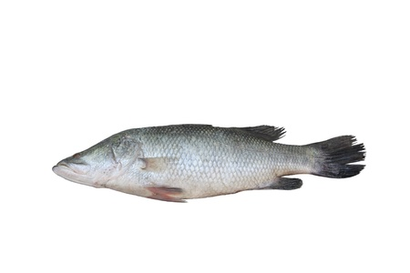 Bhetki fish isolated on white Stock Photo - 15661067