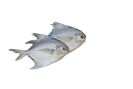 Pomphret fish isolated on white Stock Photo
