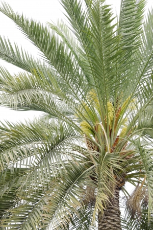 Flowers and buds in a date palm photo