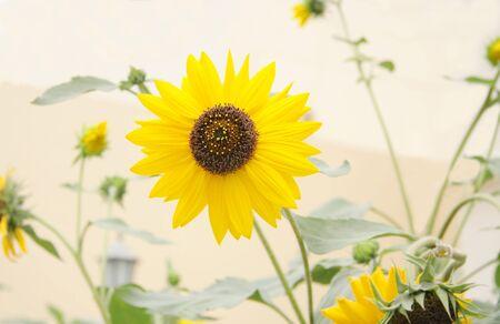helianthus annuus: A splendid sunflower Stock Photo