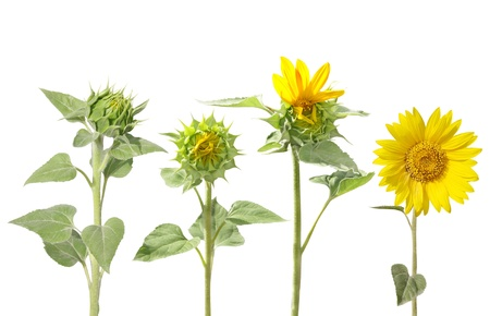 unopen: Blooming of sunflower from bud to beautiful flower