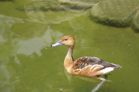 high metabolic rate: A Fulvous Whistling Duck swimming in water Stock Photo