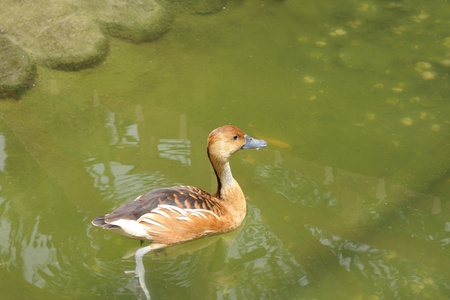 high  metabolic rate: A Fulvous Whistling Duck in water