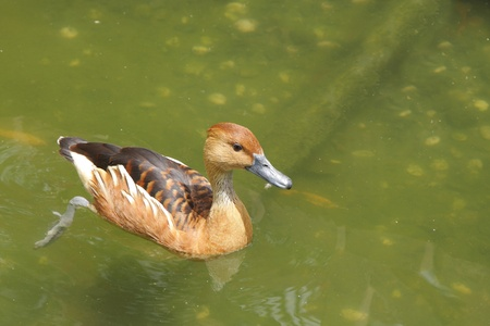 A Fulvous Whistling Duck pushing water with legs