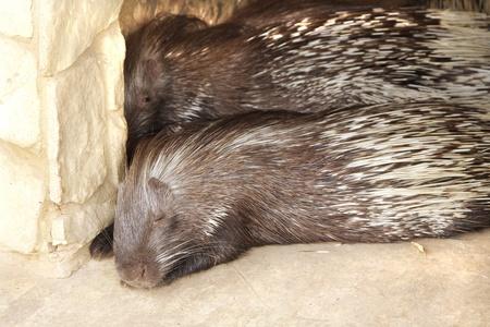 spines: Indian Porcupine