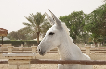 jack ass: Closeup of white donkey