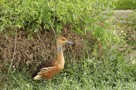 high  metabolic rate: The Fulvous Whistling Duck in front of bush