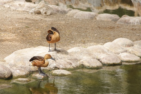high metabolic rate: The Fulvous Whistling Ducks