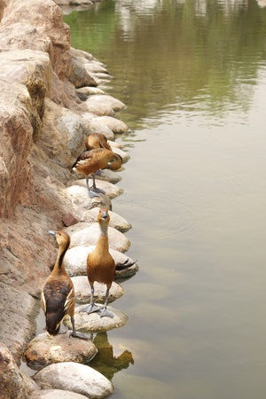 high metabolic rate: The Fulvous Whistling Ducks on the pond bank Stock Photo
