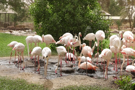 high metabolic rate: Flamingos Stock Photo