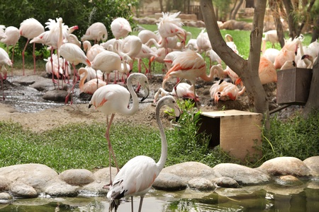 high metabolic rate: Beautiful Flamingos