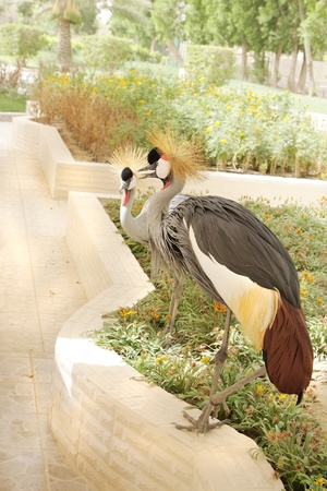 bipedal: A pair of grey crowned cranes
