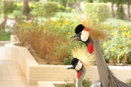 high metabolic rate: Close view of the two grey crowned crane Stock Photo