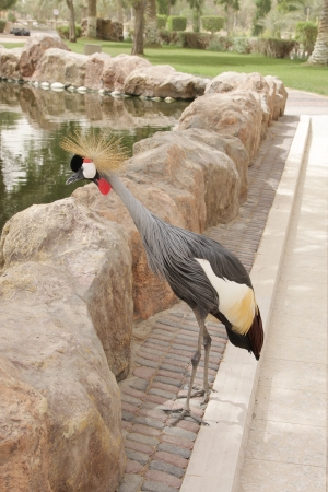 high metabolic rate: Grey crowned crane fetching food