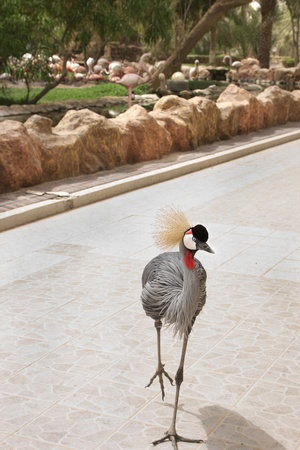 A grey crowned crane moving towards camera